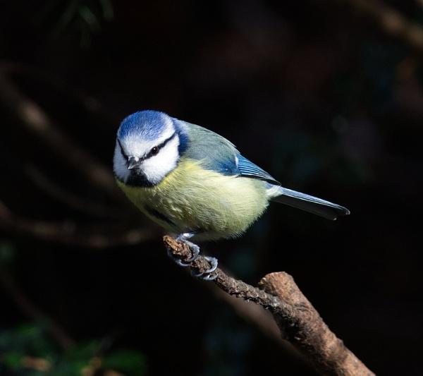 Blue tit by oldgreyheron