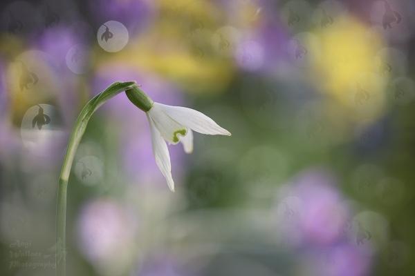 Snowdrop magic by Angi_Wallace