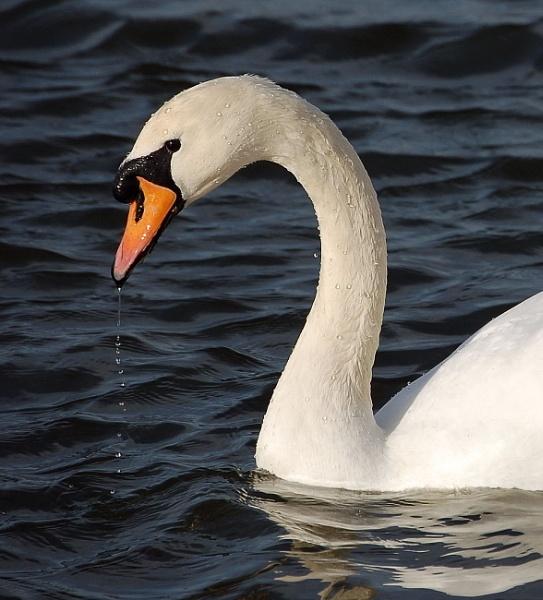 Swan by TomSaetan