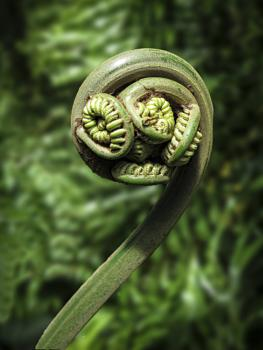 Fern Frond Waiting to Uncurl