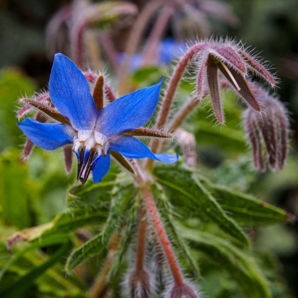 Borage flower by chavender