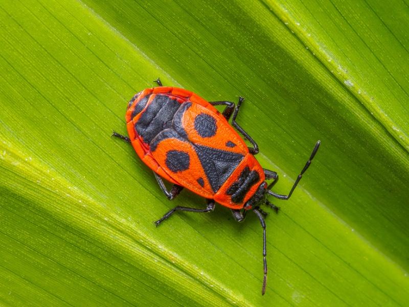 Pyrrhocoris apterus or European Firebug
