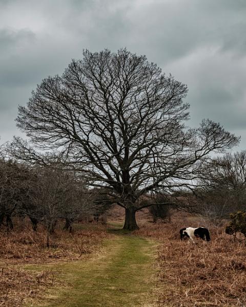 Dartmoor Pony and Tree by topsyrm