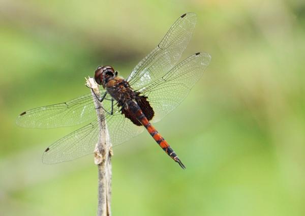dragonfly by prabhuv