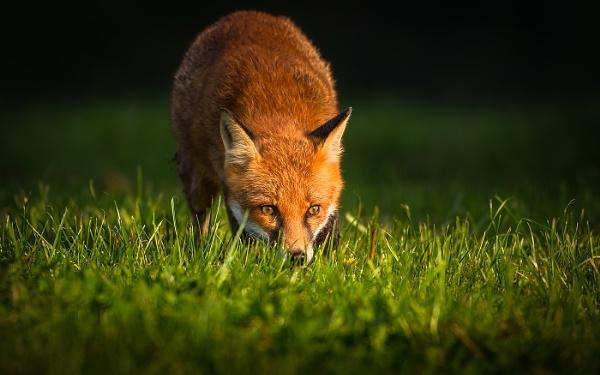 Foraging Fox by BydoR9