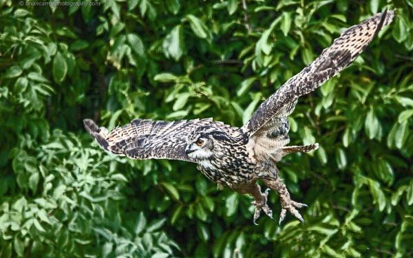 European Eagle Owl by brian17302