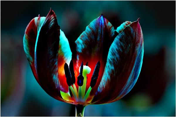 Tulip 3 by capto