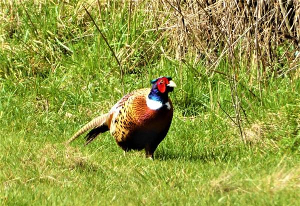 pheasant by jenny007