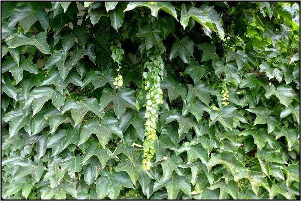 ivy wall by FabioKeiner