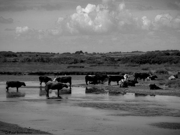Cattle Bath  by paulb2433