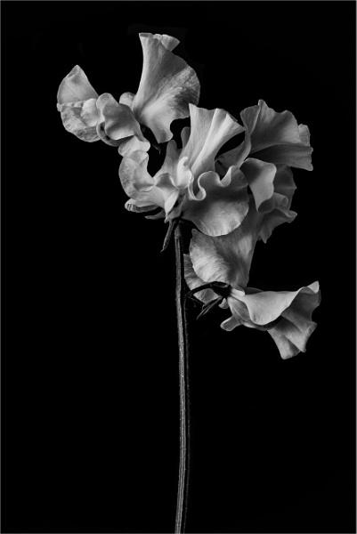 Ruffles by flowerpower59