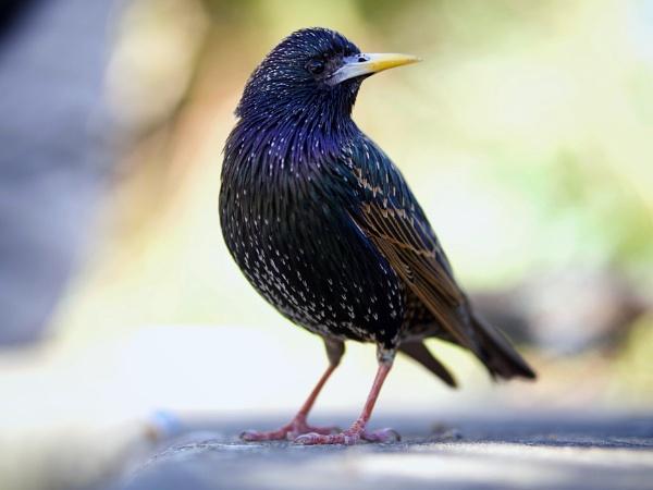 Starling by victorburnside