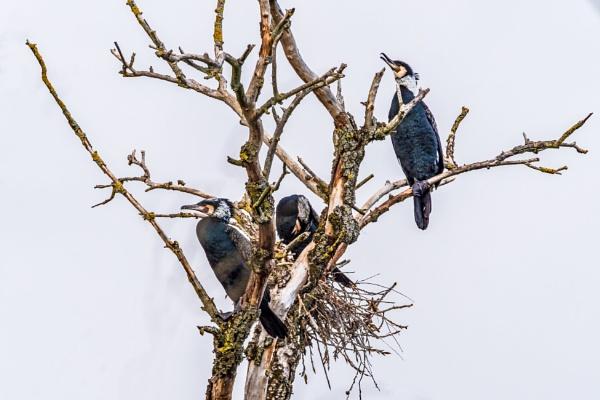 Breeding cormorants by aldasack1957