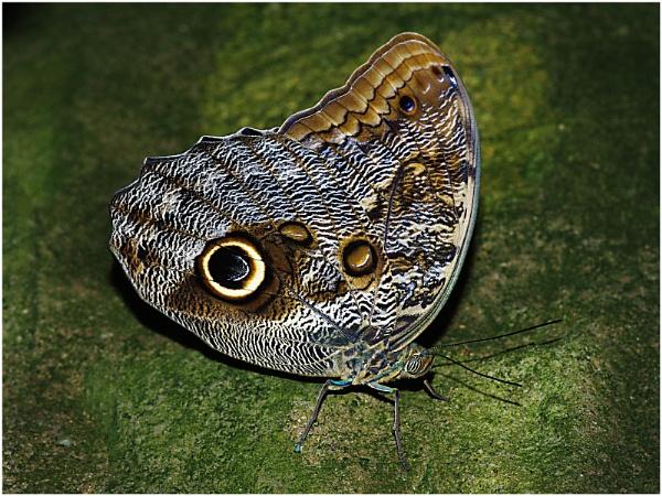 Owl Butterfly by sueriley