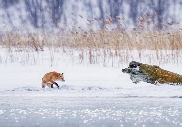 Fox\'s morning by hannukon