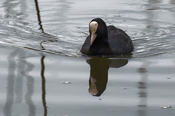 Coot with Attitude! by simmo73