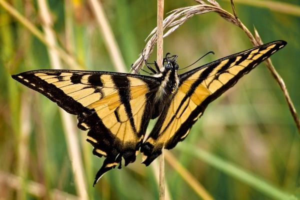 Western Swallowtail by DPW