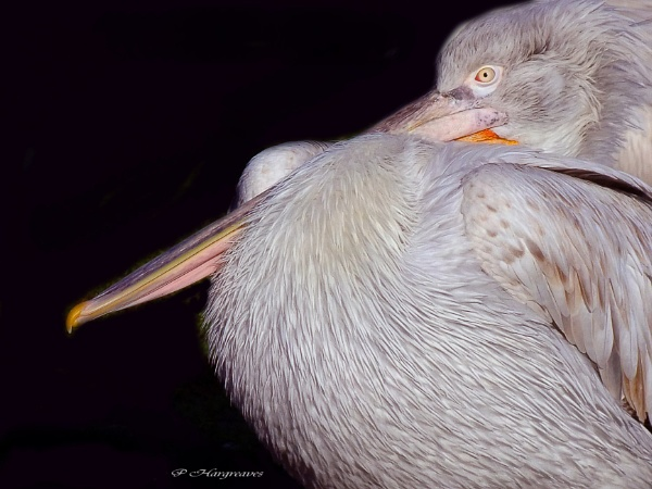 pelican by snookerball