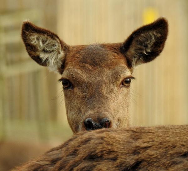 Deer by Alan26