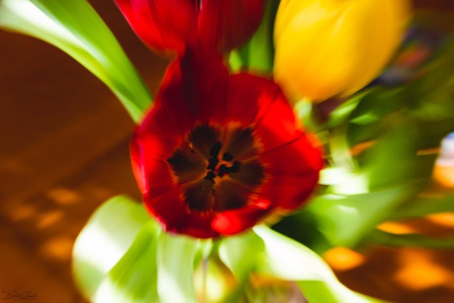 Zoom burst tulip