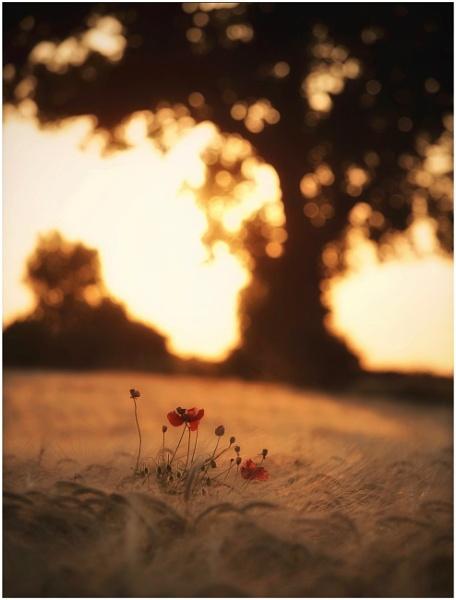 Poppyseed sunset by Carlos9