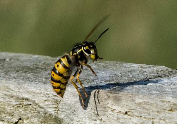 wasp by madbob