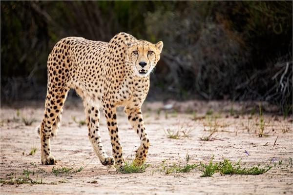 Cheetah Walking by sherlob