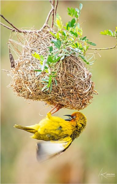 The Nest Builder by sherlob