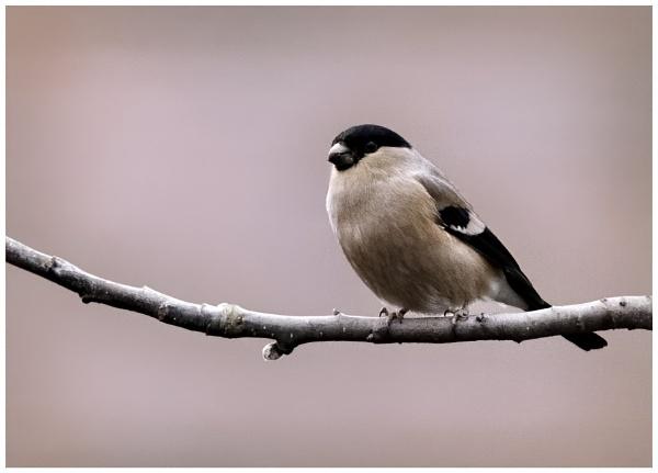 Bullfinch by davidgibson