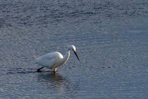 Little Egret by terra