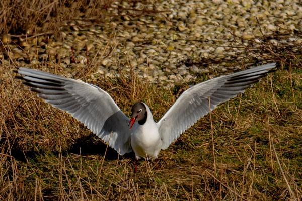 Black Headed Gull landing. by terra