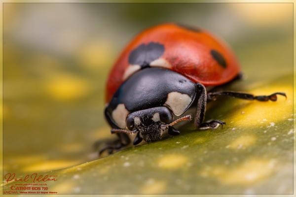 7-Spot ladybird on laurel by Paul_Iddon