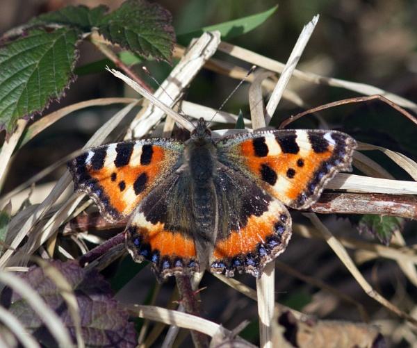 Small tortoiseshell butterfly by oldgreyheron
