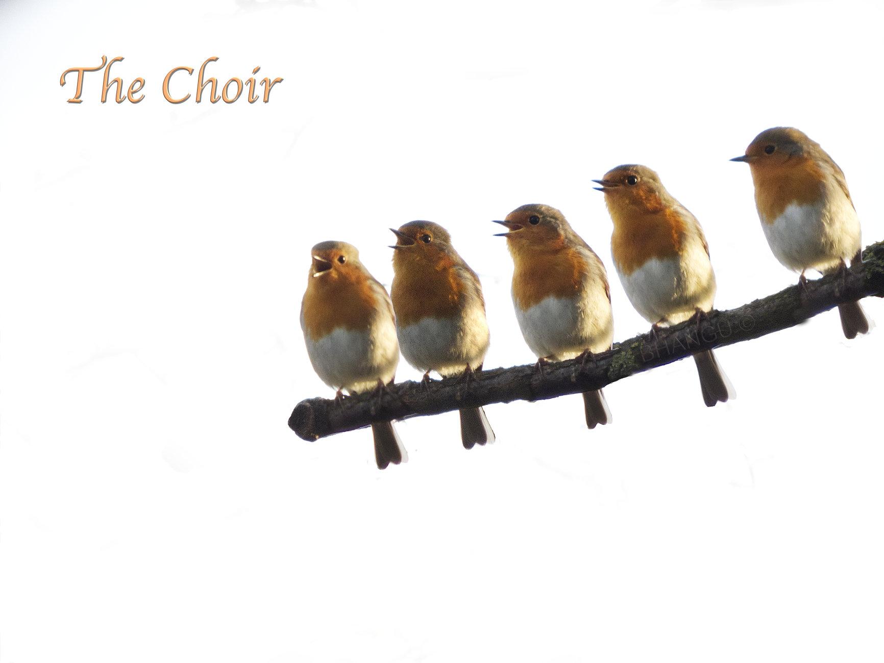 Five singing Robins!!
