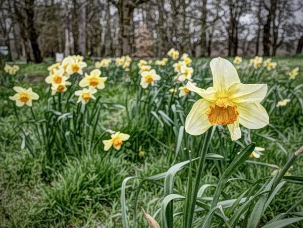Daffodils by nclark