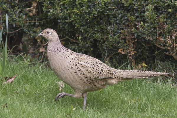 Hen Pheasant by Alan_Baseley