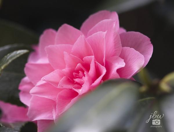Camellia by Jodyw17