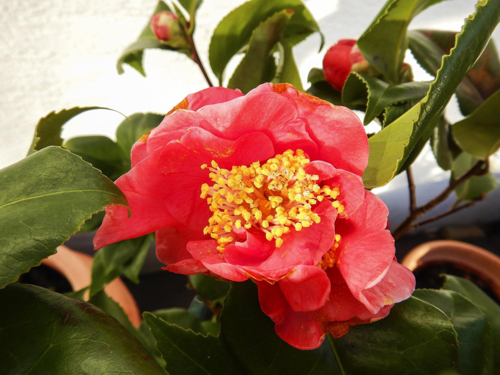 Camellia Japonica - Dr King
