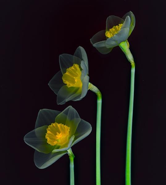 Daffodil alternative by Dallachy