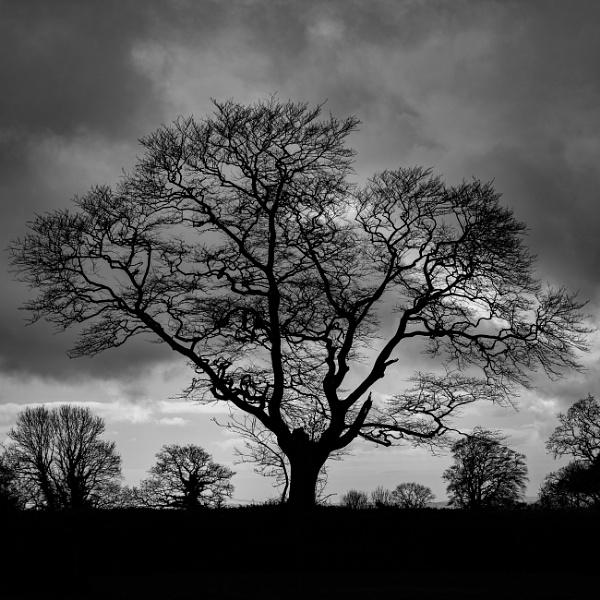 Dartmoor Tree Silhouette by topsyrm