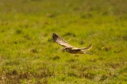 kestrel on the wing