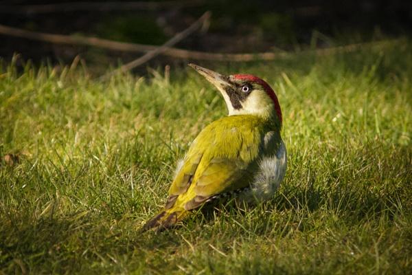 green woodpecker by tpfkapm