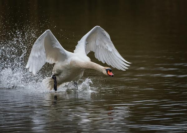 Charging Swan by BydoR9