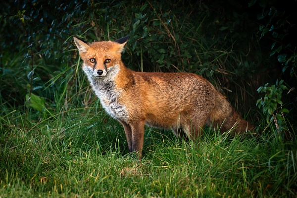Emerging Young Fox by BydoR9