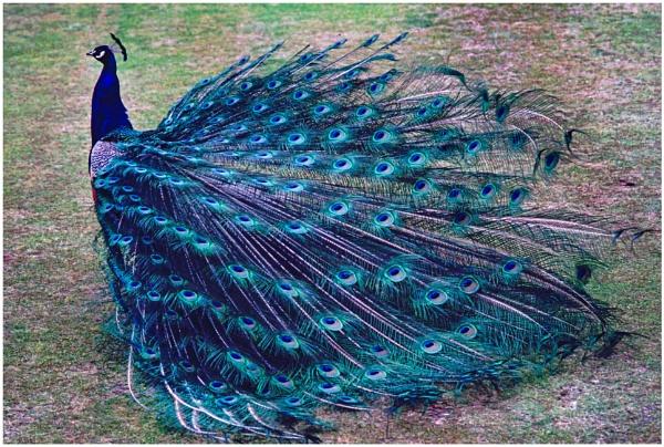 Peacock Glory by mac