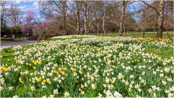Daffodils by DicksPics