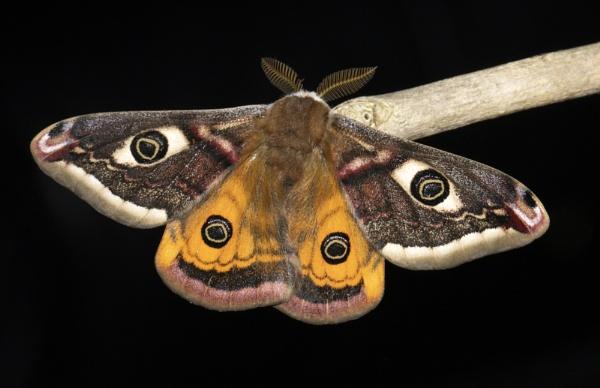 Male Emperor Moth by ali63