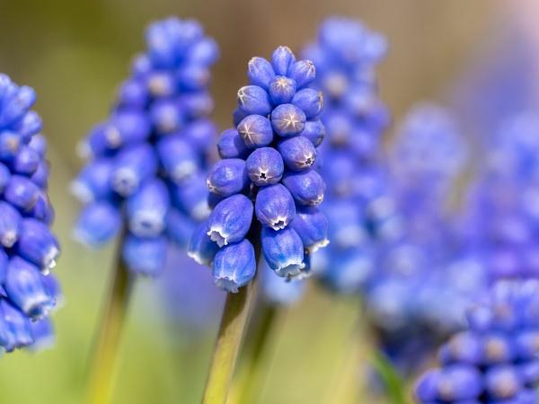 Muscari Grape Hyacinth by doverpic