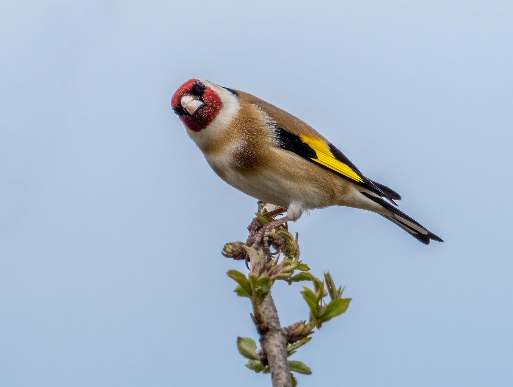 Goldfinch V3
