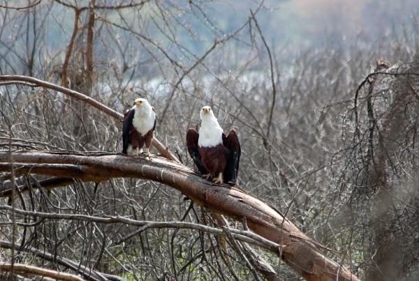 African fish eagle (Haliaeetus vocifer) by Karuma1970